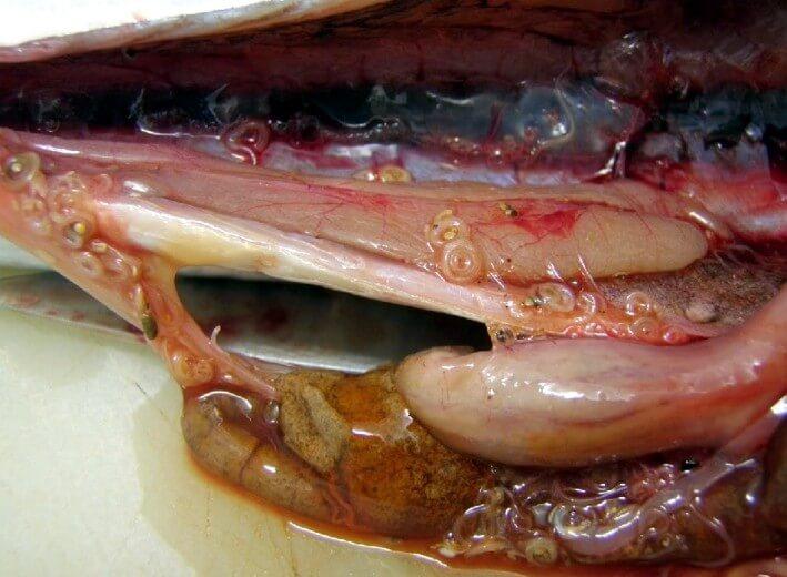 Заражение человека паразитами рыбы